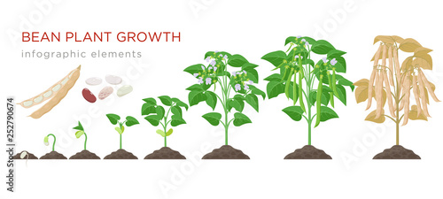 Fototapeta Bean plant growth stages infographic elements in flat design. Planting process of beans from seeds sprout to ripe vegetable, plant life cycle isolated on white background, vector stock illustration. obraz