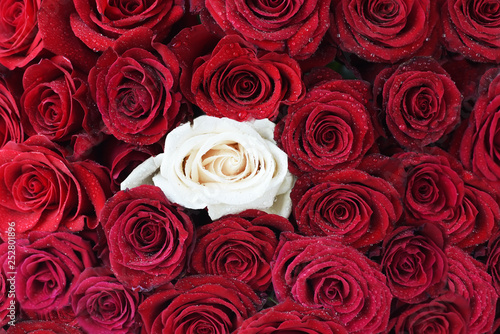 Fotografie, Obraz  Red dark roses in water drops and one white rose
