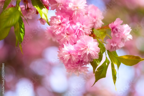 Blossoming Pink Flower Background Natural Wallpaper