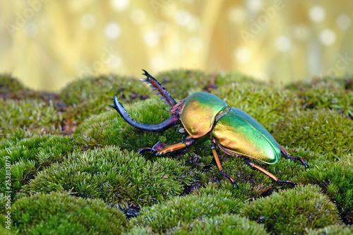 Beetle : Sawtooth beetles (Lamprima adolphinae) or Stag beetles, one of world's most beautiful beetle Fototapeta