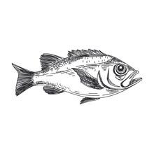 Vector Hand Drawn Lavender Fish Illustration.
