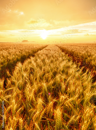 Poster Marron chocolat Wheat field - Agriculture