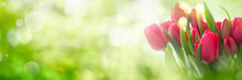 Tulips On Spring Background