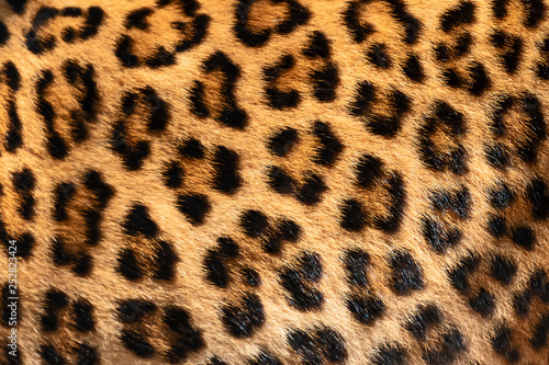 Leopard Detail skin of leopard.