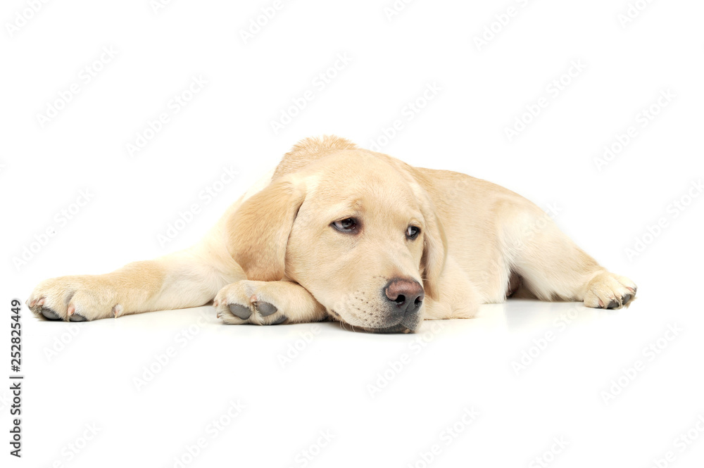 Fototapety, obrazy: An adorable Labrador Retriever puppy lying sadly on white background.