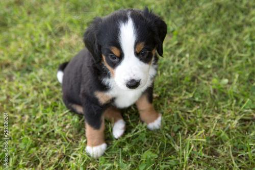 Fotografie, Obraz  Swiss Appenzeller dog puppy sitting in the garden