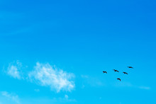 Birds Flying In The Blue Sky. Migratory Birds
