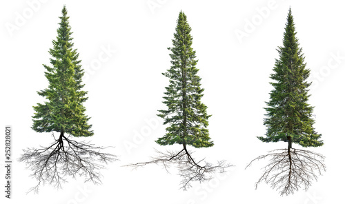 Photo  three dark green isolated firs with roots