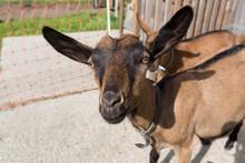 Young Pinzgauer Goat In Summer...