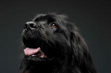 Beautiful Newfoundland Dog Por...