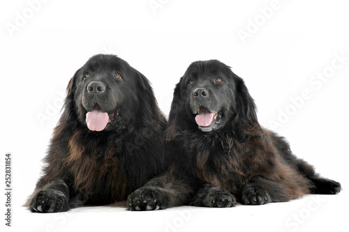 two Nice Newpoungland dogs are relaxing in a white photo studio background Fototapeta
