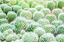 Old Man White Hairy Cactus