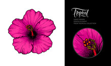 Vector Pink Hibiscus Flower Isolated On White Background. Tropical Hand-drawn Exotic Flower Illustration For Summer Poster, Hibiscus Tea Packaging, Textile Design, Beach Party Decoration, Wedding.