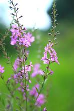 Purple Flowers Of Fireweed On ...