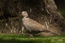Eurasian Collared Dove / Strep...