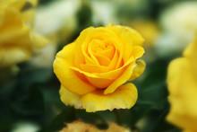 A Yellow Garden Rose.