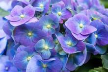Purple Hydrangea Flower