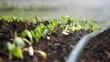 Close-up of irrigation of plantation. Sprinkler irrigates vegetable crops.