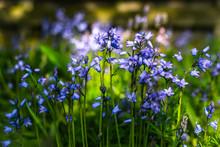 Bluebells In A Field In Scotland