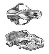 Skull Cave Bear (Ursus Spelaeus) / Vintage Illustration From Meyers Konversations-Lexikon 1897