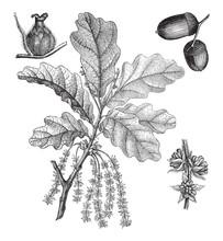 English Oak (Quercus Pedunculata) / Vintage Illustration From Meyers Konversations-Lexikon 1897