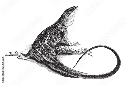 Photographie  Ocellated Lizard (Lacerta ocellata) / vintage illustration from Meyers Konversat