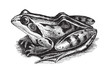 Common Frog (Rana temporaria oxyrrhinus) / vintage illustration from Meyers Konversations-Lexikon 1897