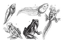Frog Growing Fase / Vintage Illustration From Meyers Konversations-Lexikon 1897