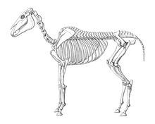Horse Skeleton / Vintage Illus...