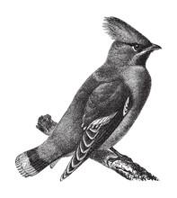 Bohemian Waxwing (Bombycilla Garrulus) / Vintage Illustration From Meyers Konversations-Lexikon 1897