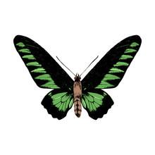 Hand Drawn Rajan Brookie Birdwing Butterfly