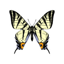 Hand Drawn Western Tiger Swallowtail Butterfly