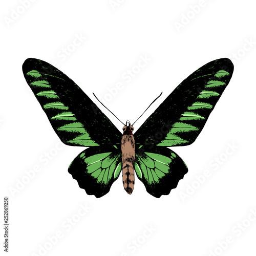Photo Hand drawn Rajan Brookie Birdwing butterfly
