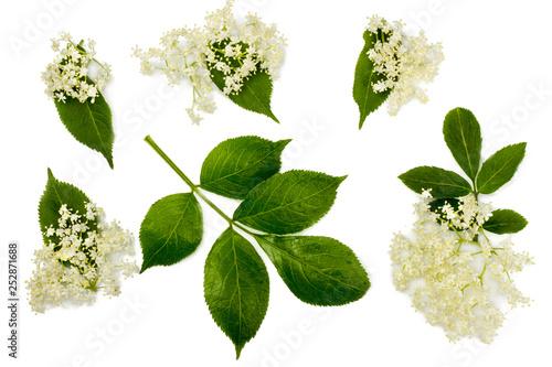Fotografia  Elder flowers isolated on white