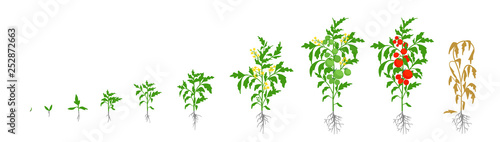 Growth stages of tomato plant Wallpaper Mural