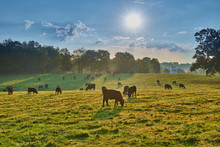Grazing Cows At Sunrise