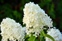 Delicate Aerial Inflorescences Of White Hydrangea In Summer In The Garden Close-up.