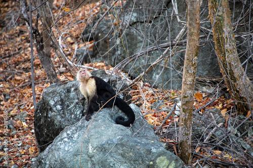 the white faced capuchin, also known as the white headed capuchin is a medium si Canvas Print