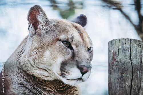 Poster Puma Portrait de puma