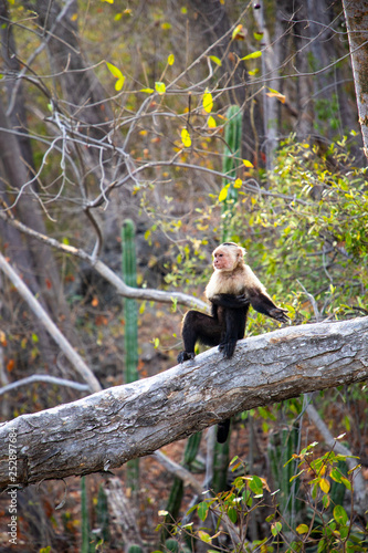 Photo the white faced capuchin, also known as the white headed capuchin is a medium si