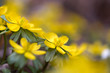 Winterlinge (Eranthis hyemalis) im Garten