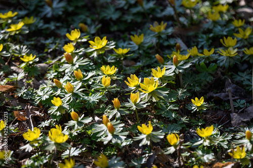 Yellow flowers of winter aconite (Eranthis hyemalis) in full bloom in a sunny da Canvas Print