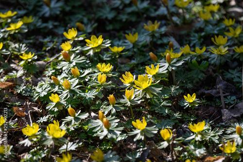 Yellow flowers of winter aconite (Eranthis hyemalis) in full bloom in a sunny da Wallpaper Mural