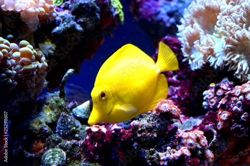 Żółta tang (Zebrasoma flavescens) jest rybą morską z rodziny Acanthuridae. Jest to jedna z popularnych ryb akwariowych. Żółte tangi można hodować i hodować komercyjnie, ale w większości są zbierane dziko.