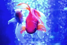 The Goldfish (Carassius Auratus) Is A Freshwater Fish In The Family Cyprinidae Of Order Cypriniformes. It Is One Of The Most Commonly Kept Aquarium Fish.A Relatively Small Member Of The Carp Family.
