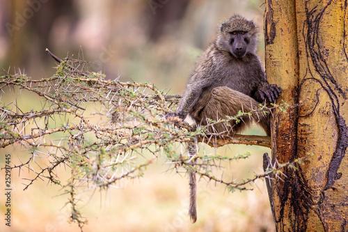 Fotografie, Obraz  An Olive Baboon in a fever tree at Lake Nakuru Kenya Africa