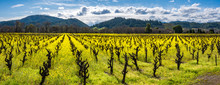 Panorama Of A Vineyard In Winter With Yellow Mustard Plants.