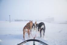 A Beautiful Six Dog Teem Pulli...