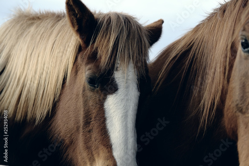 Fotografie, Obraz  Moody image of horse with beautiful mane on farm during gray weather