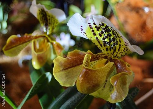 orchidea - 252934266